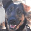 Kaena, Chien berger allemand à adopter