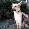 Alaska, Chien berger allemand, chien-loup tchèque à adopter