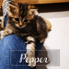 Pepper, Chaton à adopter
