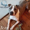 Ice, adorable american staff de 4 ans, Chien american staffordshire terrier à adopter