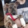 Laika, chiot femelle croisée non lof, Chiot à adopter