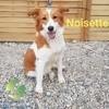 Noisette, Chiot berger australien, jack russell terrier à adopter