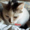 Misty, Chat européen à adopter