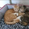 Simba et chanel, Chat à adopter