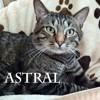 Astral beau tigré calin et gourmand, Chat à adopter