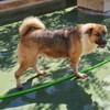 Gasol, Chien chien courant espagnol, mastiff à adopter