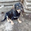 Piccolo, Chiot à adopter