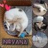 Nirvana, Chat européen à adopter