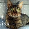 Etna adorable tigrée, Chat à adopter