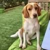 Onyl, Chien beagle à adopter