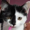 Olya, superbe chatonne de 3 mois noir et blanche, Chaton européen à adopter
