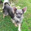 Pilou, Chien chihuahua à adopter