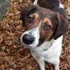 Benji !, Chien chien courant de halden, chien courant finnois à adopter