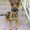 Bepcy, chienne créole croisée, Chien à adopter