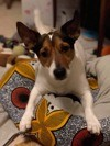 Moka, Chien jack russell terrier à adopter