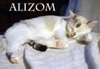Alizom tendresse aux yeux bleus, Chat à adopter