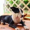 Tamarin, Chiot à adopter