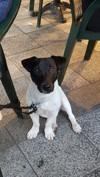 Llargo, Chien jack russell terrier à adopter