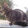 O'hara, Chat gouttière à adopter