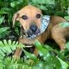 Fidji, chiot femelle croisée créole, Chiot à adopter