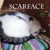 Sos scarface beau nounours, Chat à adopter