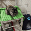 Rose, Chat à adopter