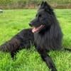 Jackson, magnifique chien groenendael, Chien berger belge à adopter