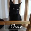 Choco, Chat à adopter