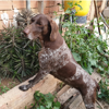Galata, Chien pointer anglais à adopter