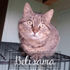 Belisama, Chat à adopter