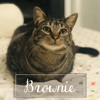 Brownie, Chat à adopter