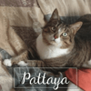 Pattaya, Chat à adopter