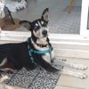 Bounty, Chien husky sibérien à adopter