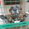 Aldo, Chien berger allemand à adopter