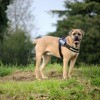 Jethro, Chien cane corso à adopter