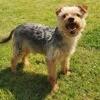 Eclair, super petit yorkshire, Chien yorkshire terrier à adopter
