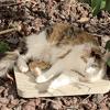 Poupoune, Chat européen à adopter