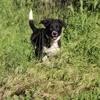 Raven, croisée border collie de 3 mois et demi, Chiot border collie à adopter
