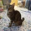 Louna, Chat européen à adopter
