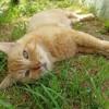 Isocele, Chat européen à adopter