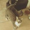 Ohana, Chat européen à adopter