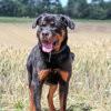 Brown, Chien rottweiler à adopter
