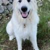 Oscar, Chien chien de montagne des pyrénées à adopter