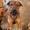 Chanel sterilisee a sauver de sotchi, Chien à adopter