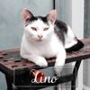 Lino, Chaton à adopter