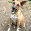 Robyn, jeune chienne croisée créole, Chien à adopter