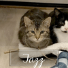 Jazz, Chat à adopter