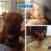 Martin male 3 ans en guadeloupe, Chien à adopter
