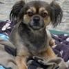 Diesel, Chien chihuahua à adopter