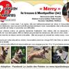 Merry, Chien berger belge, golden retriever à adopter
